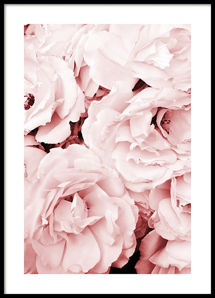 Close Up Pink Roses Poster in der Gruppe Poster / Botanik bei Desenio AB (11793)