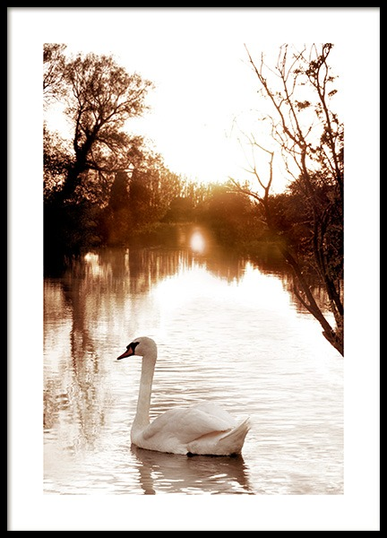 Swan on River Poster in der Gruppe Poster / Tiere bei Desenio AB (11852)