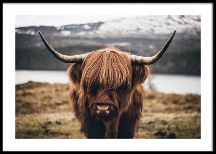 Scottish Highland Cattle Poster in der Gruppe Poster / Tiere bei Desenio AB (11853)