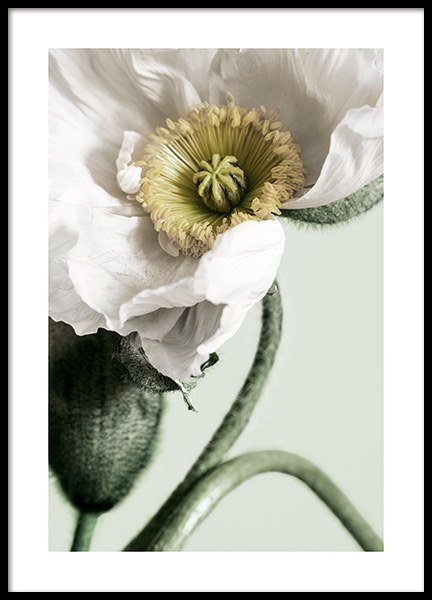 White Poppy Close Up Poster in der Gruppe Poster / Botanik bei Desenio AB (12319)